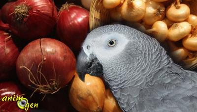 Alimentation et santé  : pourquoi ail, oignons et dérivés sont-ils dangereux pour nos perroquets ?