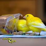 L'alimentation du canari : quels aliments composent des menus adaptés ?