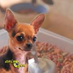Comment nourrir correctement un Chihuahua ? (Alimentation et santé)