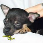 Santé : l'hypoglycémie chez le Chihuahua (causes, symptômes, conséquences, premiers secours)