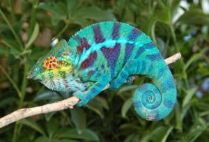 Le caméléon panthère, Furcifer pardalis, un arc-en-ciel de couleurs