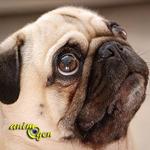Le Carlin, un chien gourmand et sympathique