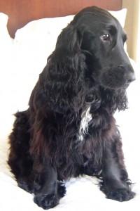Le Cocker anglais, un chien de chasse au grand coeur
