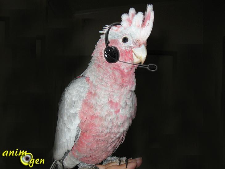 Classification du niveau de bruit, d'aigus et de la capacité d'imitation de nos perroquets