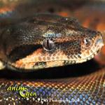 La maladie des corps d'inclusion, ou IBD (Inclusion Body Disease) chez le serpent (causes,symptômes,traitement)