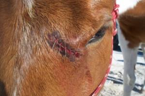 Santé : les premiers soins en cas d'entaille ou de coupure chez le cheval ?