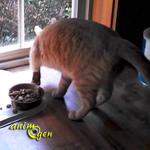 Comportement : pourquoi les chats recouvrent-ils parfois leurs aliments ?