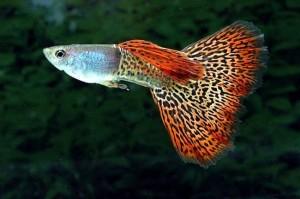 Trois poissons pour débuter avec un aquarium d'eau douce (Guppy, Xipho, Platy)