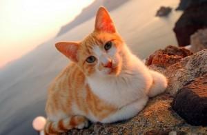 Le chat de mer Egée, héritage de l'Antiquité grecque