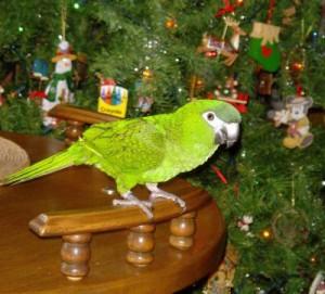 Santé : sapins, boules, guirlandes et décorations de Noël, assurons la sécurité de nos perroquets