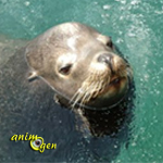 Cabo San Luca : l'otarie voleuse prise en flagrant délit