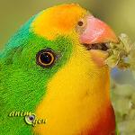 La perruche de Barraband, ou Polytelis Swainsonii, superbe perroquet d'Australie