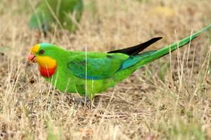 perruche-barraband-superb-parrot-polytelis-swainsonii-perroquet-psittacidé-espèce-alimentation-reproduction-origine-animal-animaux-compagnie-animogen-