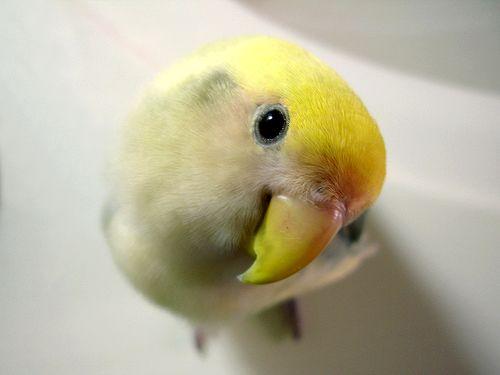 Exposition-Bourse d'oiseaux d'agrément à La Chaux-de-Fonds (Suisse), du samedi 30 novembre au dimanche 01 er décembre 2013