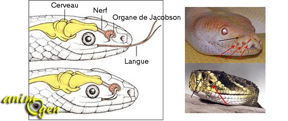 Les organes sensoriels des serpents