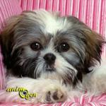 Le Shih-tzu, chien mogwai