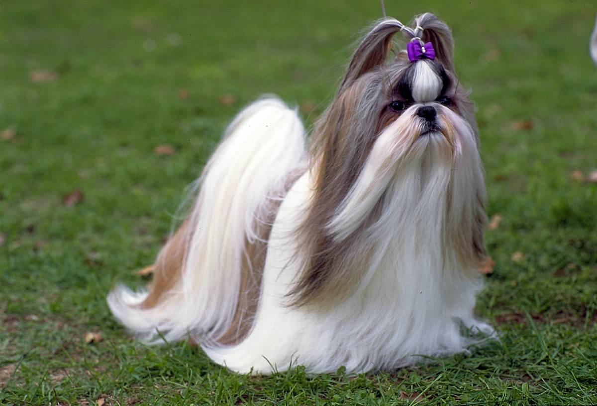 27 réponses à Le Shih-tzu, un chien aux allures de mogwai