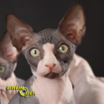 sphynx-comportement-chats-races-origines-caractère-standard-félins-domestiques-animal-animaux-compagnie-animogen-