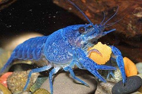 Crabes crevettes et crevisses des crustac s en - Difference entre pas de porte et fond de commerce ...