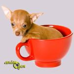 Le Chihuahua, grandeur et décadence d'une race victime de son succès