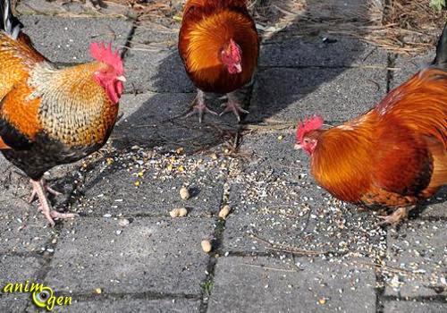 donner a manger aux poules
