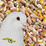 Comment procurer une alimentation équilibrée à nos pigeons d'agrément ?