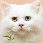 L'Anatoli, un chat turc qui revendique une place dans le monde félin