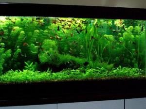 comment choisir les plantes d un aquarium d eau douce. Black Bedroom Furniture Sets. Home Design Ideas