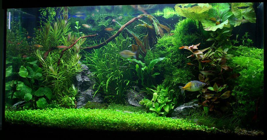 comment choisir les plantes d un aquarium d eau douce animogen