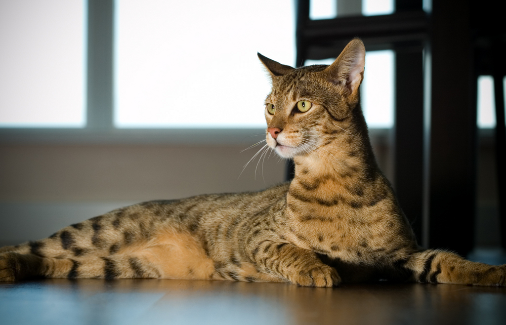 L'Ashera, un chat hybride vendu à prix d'or