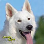 berger-blanc-suisse-chiens-races-caractère-entretien-éducation-comportement-origines-animal-animaux-compagnie-animogen-00