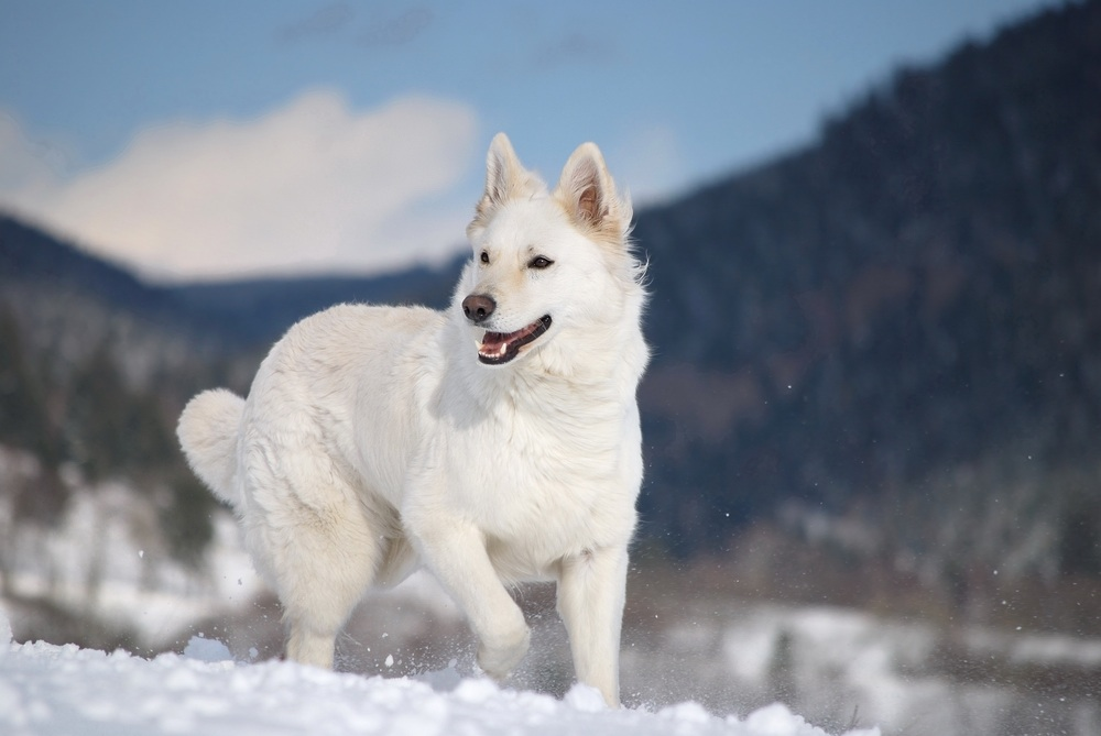 Le Berger blanc suisse, une race sauvée par des passionnés