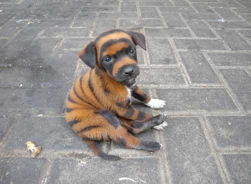 Existe-t-il des chiens au pelage tigré ?