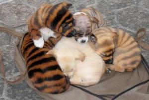 Le Wuxi China Bengal, chien au pelage tigré ?