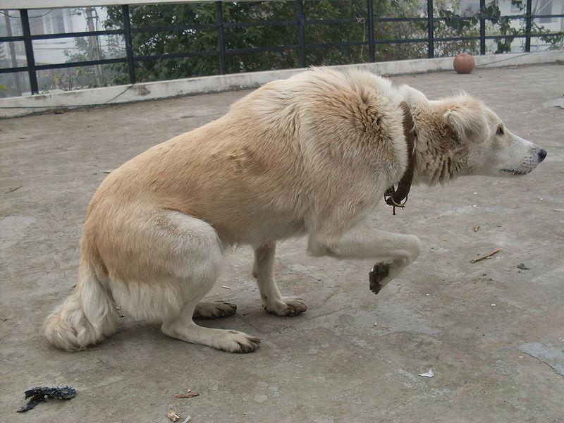Comportement : comment reconnaître les signes d'alerte visuels des chiens ?