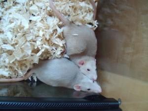 Santé : la conjonctivite chez nos rats de compagnie (causes, symptômes, traitement)