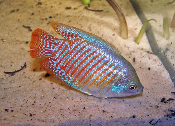 Le Gourami nain, ou Colisa lalia, un hôte apprécié des aquariums d'eau douce
