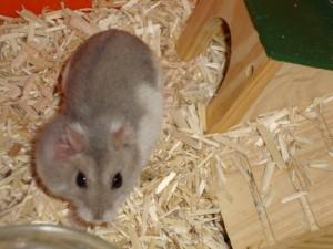 Les principaux problèmes de santé et maladies des hamsters