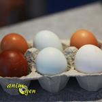 La coloration des oeufs de poule, pur hasard ou fruit d'une facétieuse génétique ?