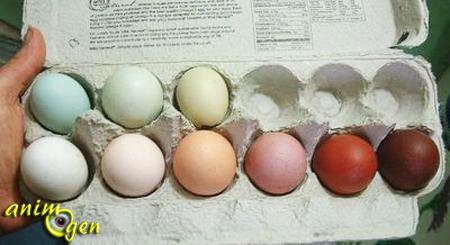 La coloration des oeufs de poule pur hasard ou fruit d for Oeuf de poule mou