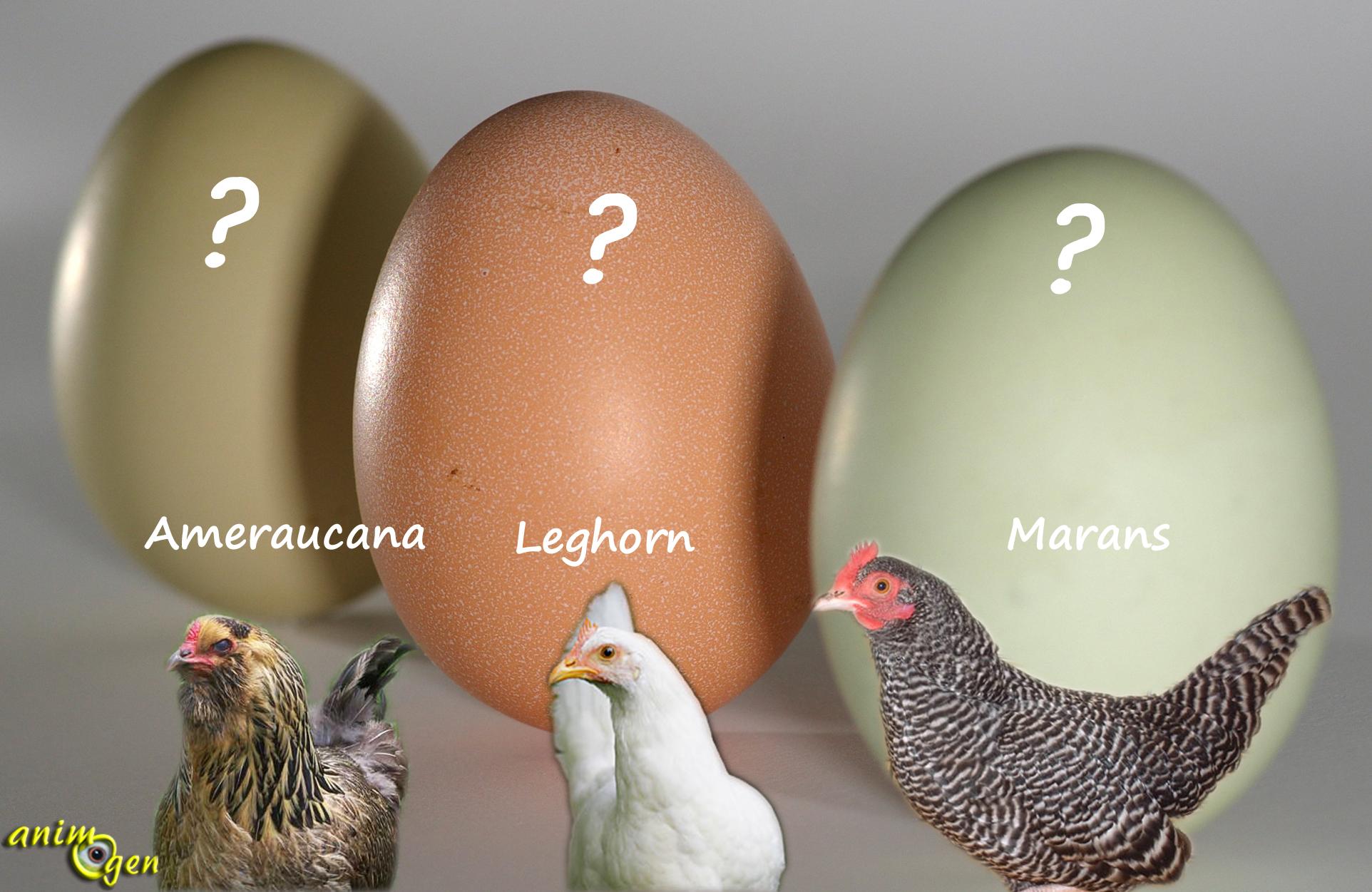 Pourquoi mes poules pondent-elles des œufs mous
