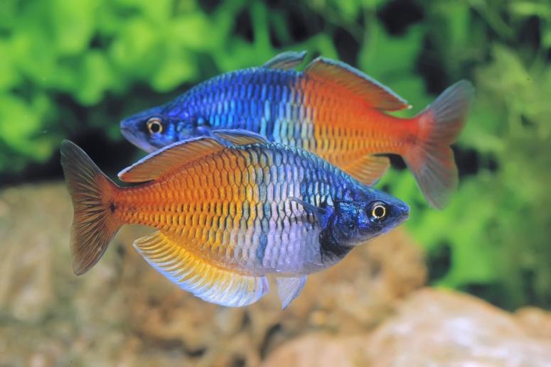 Le poisson arc en ciel melanotaenia boesemani un h te for Bac communautaire poisson rouge