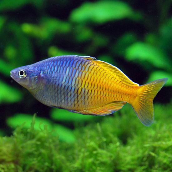 Poisson original aquarium eau douce 28 images donne for Vente aquarium poisson