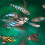 Aquariopihilie : le mode d'apprentissage du danio rerio par l'observation de ses semblables