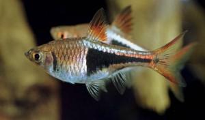 Le Rasbora arlequin, poisson arlequin, Rasbora heteromorpha (aquariophilie d'eau douce)