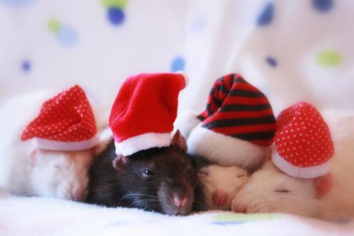 Comportement : les rats rêvent-ils ?
