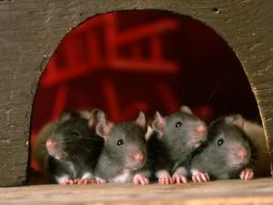 L'adoption d'un rat : âge idéal et choix de la cage