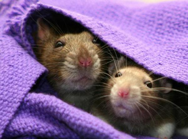 Quels jeux un rat peut-il apprendre ? (12 idées interactives)