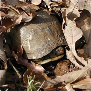 L'hibernation, ou hivernage, est-il une nécessité pour les tortues de terre ?