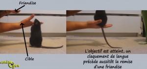 Education : apprenez à votre rat ou souris à sauter sur votre main
